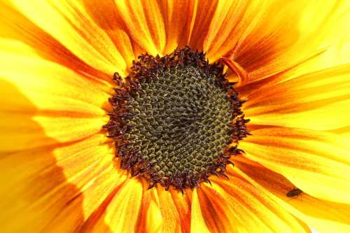 Sunflower Insect Summer Garden Sunshine Bloom