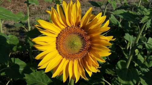 Sunflower Field Summer Yellow Nature Blossom