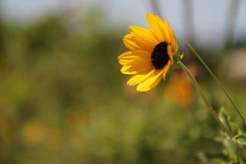 Sunflower Flower Yellow Floral Natural Meadow