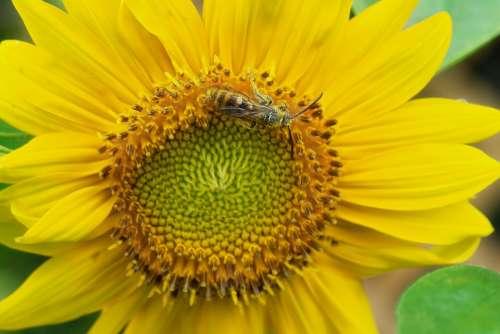 Sunflower Bee Pollen Yellow Flower Nature Summer