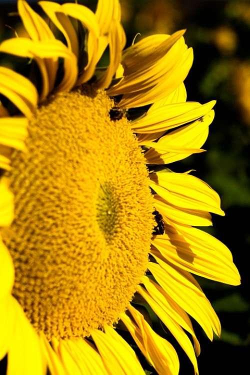Sunflower Sun Yellow