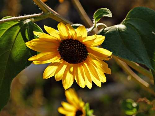 Sunflower Flower Plant Nature Yellow