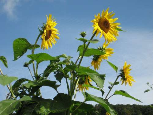 Sunflowers Flowers Giverny Monet'S Garden