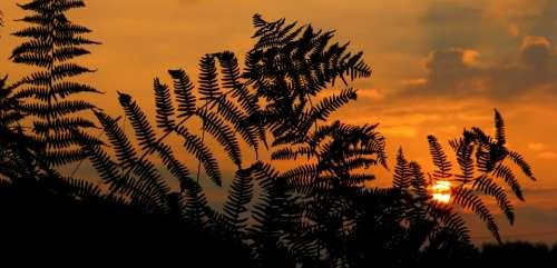 Sunrise Sunset Fern Nature Plant Morgenrot