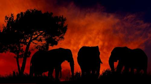 Sunset Elephants Silhouette Nature Africa Tree