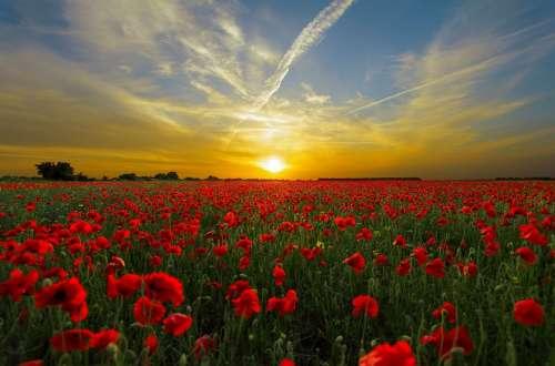 Sunset Field Poppy Sun Nature Horizon