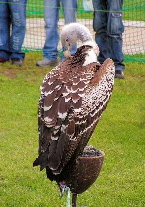 Sup Breeding Raptors Scavenger