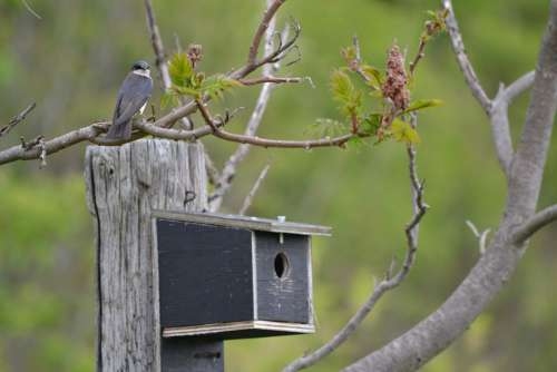 Swallow Birdhouse Canada Nature
