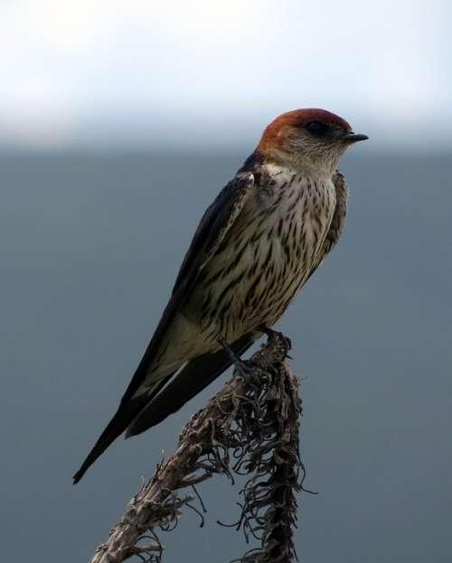 Swallow Bird Orange Striped Africa Animal
