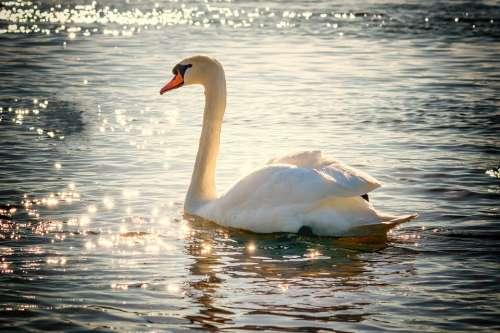 Swan Water Bird Lake White Feather Nature