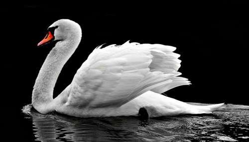 Swan Water White Water Bird Lake Nature Waters