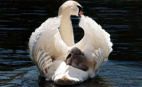 Swan Baby Swan White White Swan Water Lake Bird