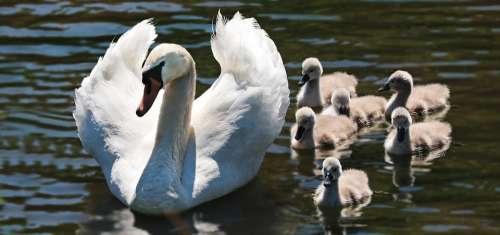 Swan Swan Babies Baby Swans Swan Family Lake