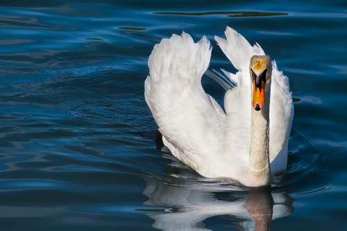 Swan Animal White Swan Bird Water Bird