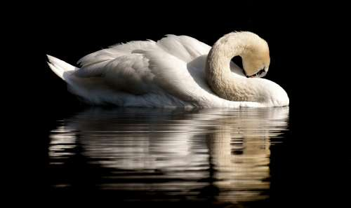 Swan Feather Plumage Water Bird Nature Animal