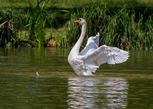 Swan Water Bird Animal Nature Swim Swans Waters
