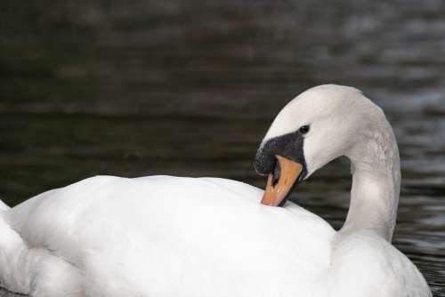 Swan White Swan Water Animal Bird Waters Nature