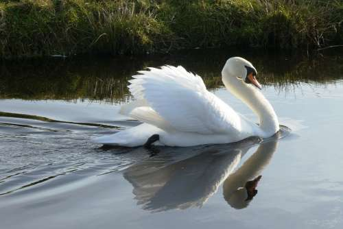 Swan White Feathers Ditch Reflection Waterfowl