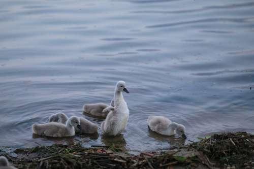 Swan Baby Bird Animal Lake Water Young Offspring