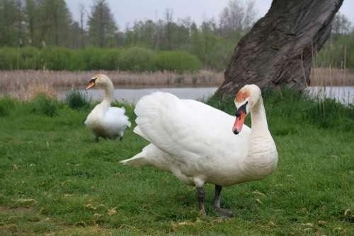 Swan Bird Swans Birds White