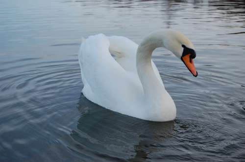 Swan Lake Nature Water Fidelity Tenderness