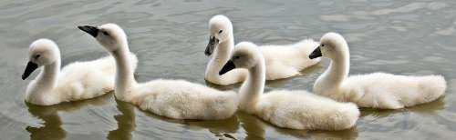 Swans Swan Young Water Waterfowl Young Swans