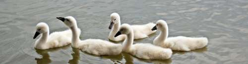 Swans Baby Swans Water Waterfowl Young Swans