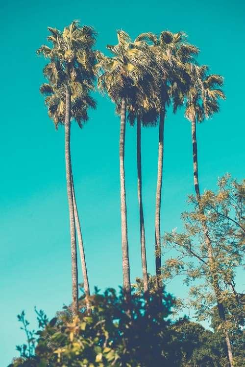 Palm Tree Tall Long Slender Thin High Tropical
