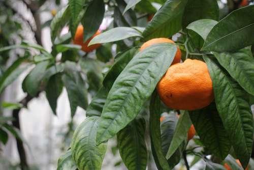 Tangerine Orange Mandarins Nutrition Fresh Citrus