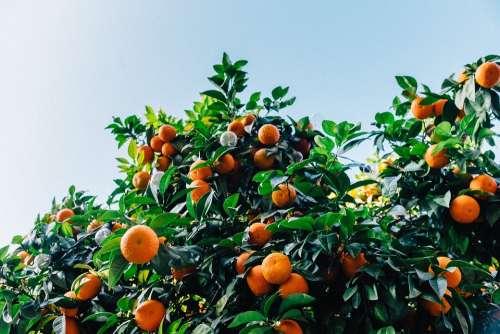Tangerines Tree Satsuma Orange Citrus Fruit Color