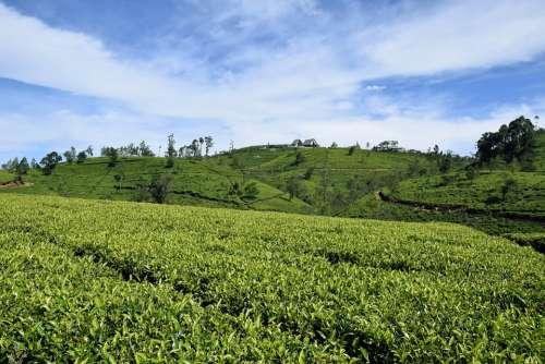 Tea Sri Lanka Ceylon Field Drink Plant Food Sky