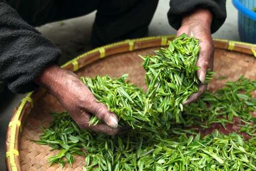 Tea Hand Fresh Green Leaves Drying Harvesting
