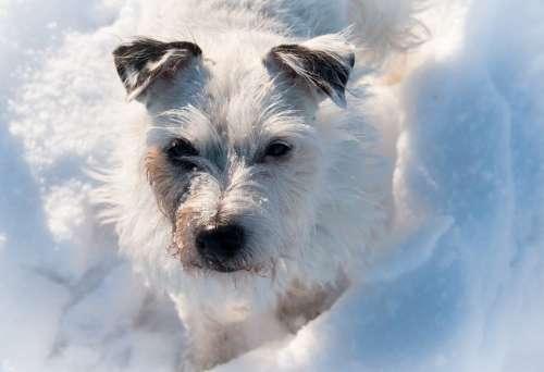 Terrier Dog Snow White Winter Pet Animal