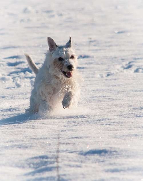 Terrier Snow Winter Race Dog Animal Pet Cute