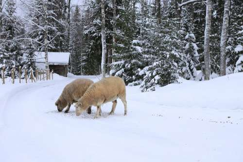 The Sheep Winter Snow Countryside Frost Livestock