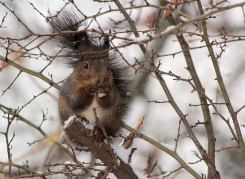 The Squirrel Winter Snow Thorns Food Cold Animal