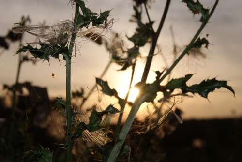 Thistle Sun Sunset Abendstimmung