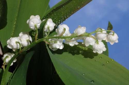Thrush Plant Spring White Perfume Green Flowers
