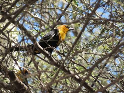 Thrush Ave Bird Nature Little Bird Animal Peak