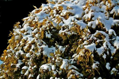 Thuja Golden Bush Winter Snow Nature Closeup