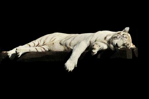 Tiger Lazy Sleeping White Animal Zoo Cat