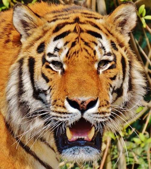 Tiger Predator Fur Beautiful Dangerous Big Cat