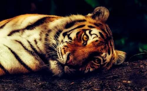 Tiger Animal Wildlife Resting Macro Closeup