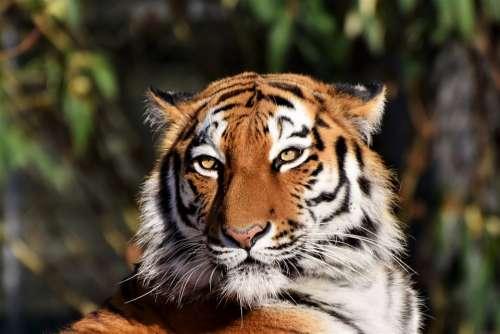 Tiger Siberian Tiger Tiger Head Big Cat Predator