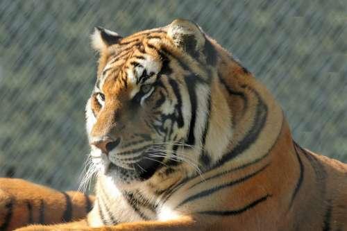 Tiger Animal Predator Feline Nature Mammals Head