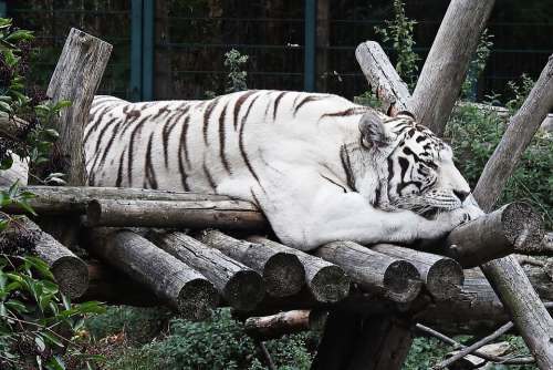 Tiger White White-Tiger Mammal Cat Big Cat