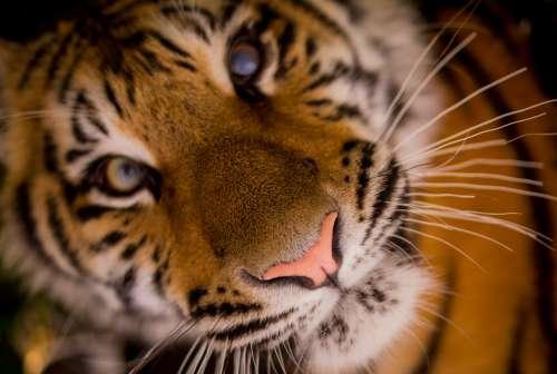 Tiger Carnivore Stripes Cat Feline Whiskers
