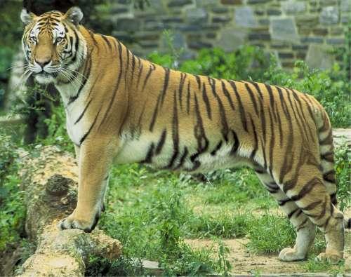 Tiger Feline Big Cat Animal Wildlife Nature