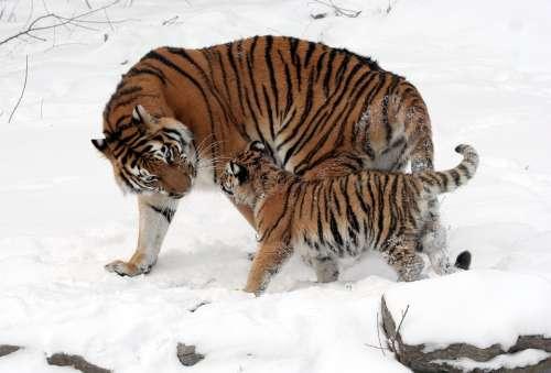 Tiger Siberian Tiger Tiger Cub