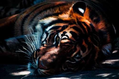 Tiger Wildlife Animal Cat Predator Feline